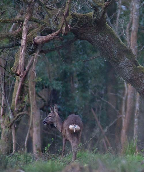 Roe deer1 140331