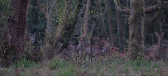 Roe deer2 140331