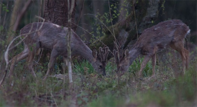 Roe deer3 140331