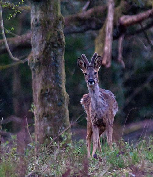Roe deer4 140331