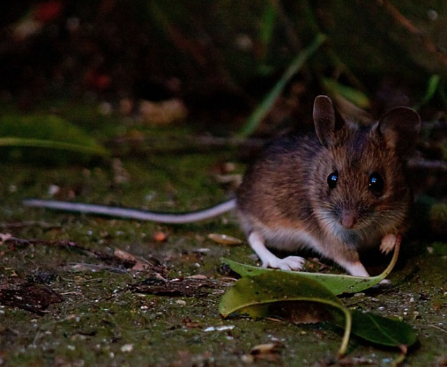 Wood mouse1 140323