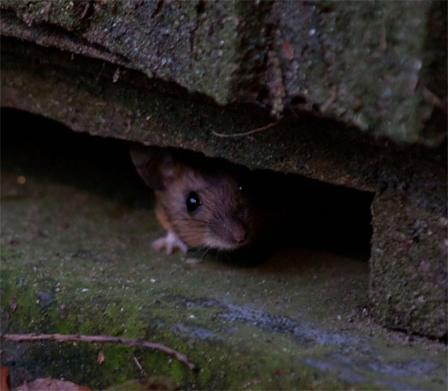 Wood mouse2 140323