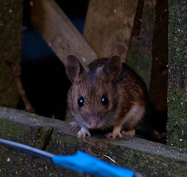 Wood mouse3 140323