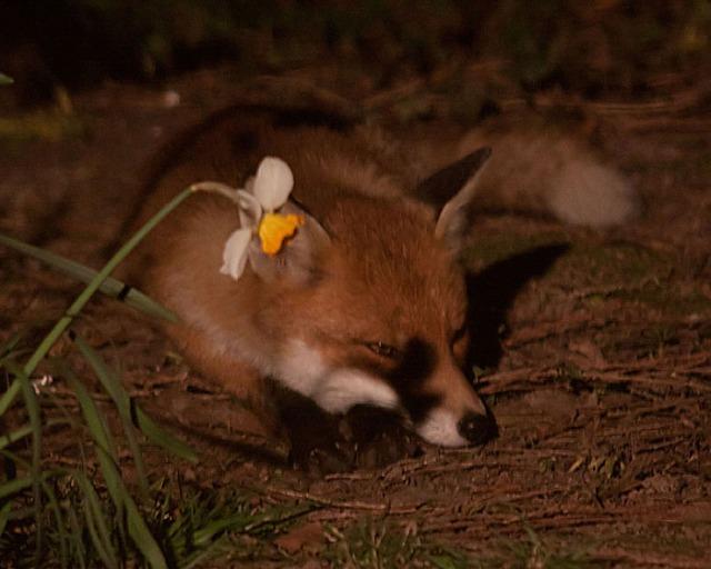 Fox daffodil1