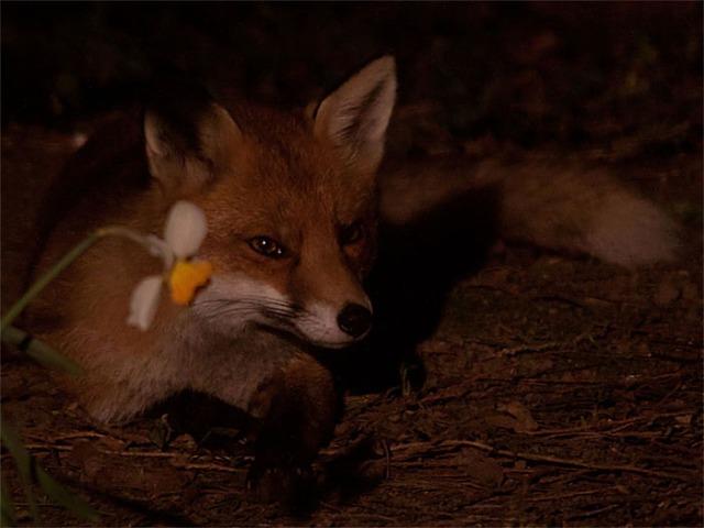 Fox daffodil3
