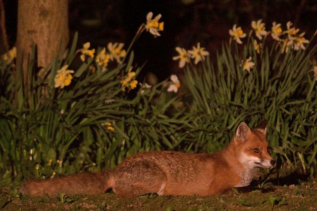 Fox daffodil4