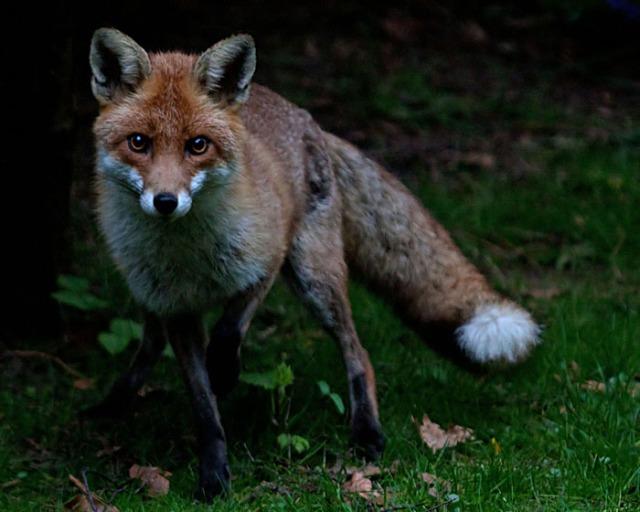 Red fox garden1 140405