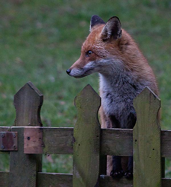 Red fox garden3 140405