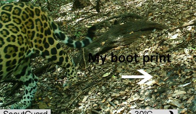 Jaguar and boot print